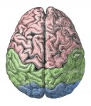 Cerebral lobes of human brain